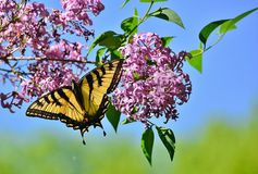 Eastern Tiger Swallowtail on pink lilac High Park. Eastern Tiger Swallowtail feeds suspended from a cluster of pink lilac blossoms in High Park on a glorious Royalty Free Stock Photos