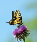 Eastern tiger swallowtail side view Royalty Free Stock Photos