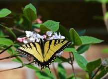 Eastern tiger swallowtail sipping nectar Royalty Free Stock Photography