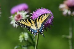 Eastern tiger swallowtail sipping nectar Stock Image