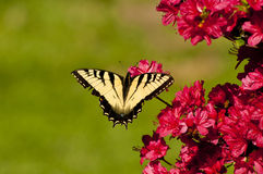 Eastern Tiger Swallowtail sitting on azaleas Stock Photos