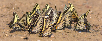 Eastern Tiger Swallowtails Gathering Minerals. Stock Photography