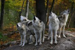 Free Eastern Timber Wolves Howling On A Rock. Stock Image - 201693221