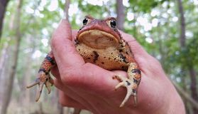 Eastern toad stock photo
