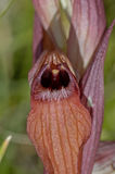 Eastern Tongue Orchid Serapias cordigera. Close up Eastern Tongue Orchid Serapias cordigera stock photography