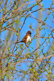 Eastern Towhee Royalty Free Stock Photo
