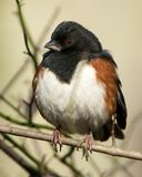 Eastern Towhee. An Eastern Towhee seen in the Forsythe National Wildlife Refuge in Oceanville, NJ Royalty Free Stock Images