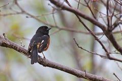 Eastern Towhee. (Pipilo erythropthalmus erythropthalmus), male sitting in a tree Stock Image