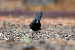 Eastern Towhee bird, Athens, Georgia Royalty Free Stock Photo
