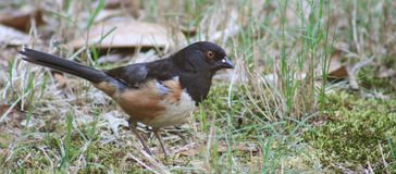 Eastern Towhee-chick Stock Photo