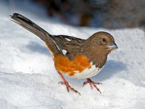 Female Eastern Towhee Stock Images