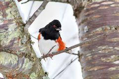 Eastern Towhee II Royalty Free Stock Image