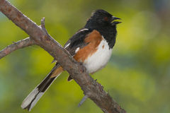Eastern Towhee Stock Photo