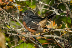 Eastern Towhee Stock Photography