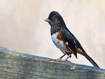 Eastern Towhee. Male Eastern Towhee sitting on a branch Stock Images