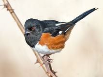 Eastern Towhee. Male Eastern Towhee sitting on a branch royalty free stock photos