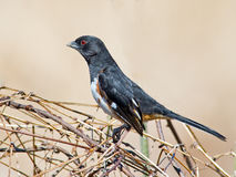 Eastern Towhee Royalty Free Stock Photography