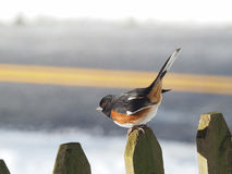 Eastern Towhee Royalty Free Stock Images