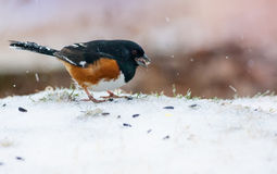 Eastern Towhee Stock Images
