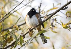 Eastern Towhee songbird on windy fall day, Georgia USA. Eastern Towhee, Pipilo erythrophthalmus, with fluffed feathers on chilly fall day; November 2018 in royalty free stock images