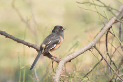 Eastern Towhee In Spring Royalty Free Stock Image
