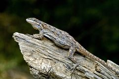 An Eastern Tree Lizard Royalty Free Stock Photography