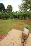 Eastern Uganda. A coffee farmer proudly begins the drying process of some of his beans Stock Images