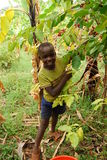 Eastern Uganda. The children of coffee growers help pick coffee after school Royalty Free Stock Photography