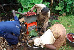 Eastern Uganda. A family of coffee farmers begins to husk their coffee beans Stock Images