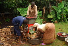 Eastern Uganda. A family of coffee farmers begins to husk their coffee beans Royalty Free Stock Image