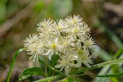 Eastern Virgin's Bower – Clematis virginiana. Eastern Virgin's Bower flowers consist of 4 to 5 white petal-like sepals and many white stamens in clusters Stock Photography