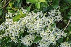 Eastern Virgin's Bower – Clematis virginiana. Eastern Virgin's Bower is a vigorous vining plant of the Buttercup family Stock Photography
