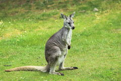 Eastern wallaroo. Standing in the grass Royalty Free Stock Photos