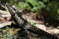 Eastern Water Dragon Royalty Free Stock Photo