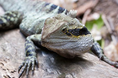 Eastern water dragon Royalty Free Stock Photography