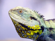Eastern Water Dragon. Australian lizard lives in and near fresh water Royalty Free Stock Images
