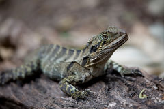 Eastern Water Dragon. An Eastern (Australian) Water Dragon sitting on a tree branch Stock Photo