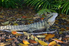 EASTERN WATER DRAGON. An Eastern Water Dragon amongst autumn leaf litter. Location: Brisbane, Queensland, Australia Stock Images