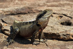 Eastern water dragon. An Australian lizard baths in the sunshine Stock Photos