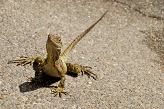 Eastern Water Dragon in Brisbane Stock Image