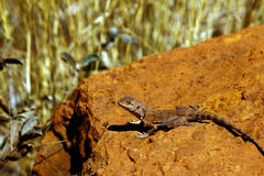 Eastern water dragon lizard Stock Image