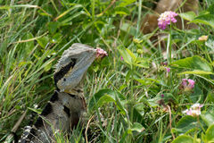 Eastern Water Dragon Royalty Free Stock Image