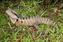 Eastern water dragon Royalty Free Stock Photo