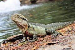 Eastern Water Dragon, Physignathus lesueurii Agamidae. Brisban. E, Queensland Australia royalty free stock photo