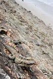 Eastern Water Dragon, Physignathus lesueurii Agamidae. Brisban. E, Queensland Australia stock photos