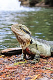 Eastern Water Dragon, Physignathus lesueurii Agamidae. Brisban. E, Queensland Australia, sitting outdoors, next to the fountain in a park stock images