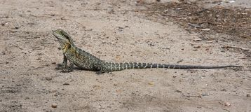 Eastern water dragon, Physignathus lesueurii royalty free stock photography