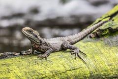Eastern Water Dragon, Queensland (Australia) Stock Images