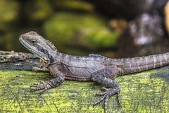 Eastern Water Dragon, Queensland (Australia) Stock Image
