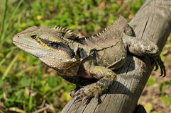 Eastern water dragon Stock Photography